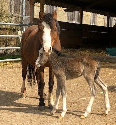 Erstes Ponyfohlen auf dem Rappenhof
